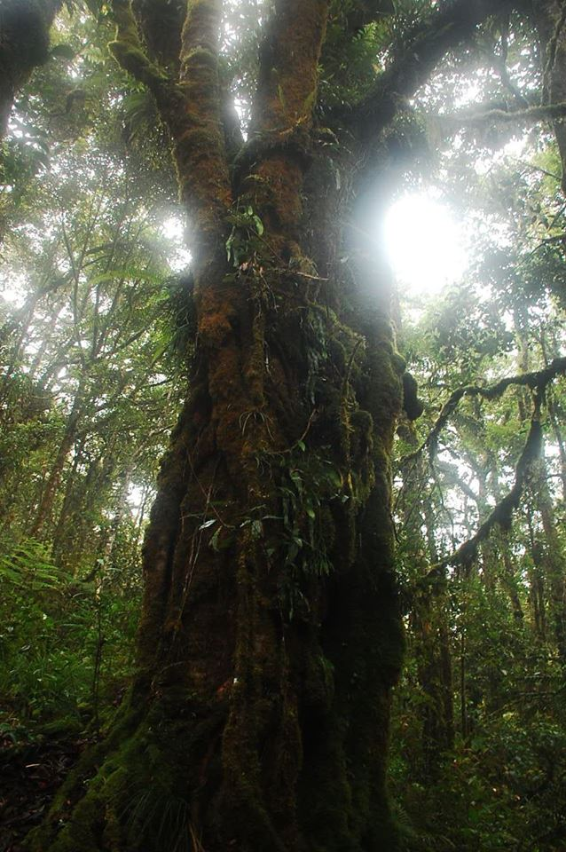 Large mossy trees found in Mt. Piagayungan