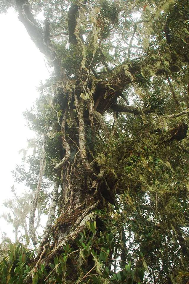 More Mossy Trees found in Mt. Piagayungan